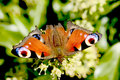Peacock butterfly close up of a on ivy flowers Royalty Free Stock Images