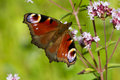 Peacock butterfly family nymphalidae butterflie resting on marjoram flower with wings open Stock Photo