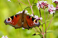 Peacock butterfly family nymphalidae butterflie resting on marjoram flower with wings open Stock Image