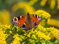 Peacock butterfly on Flower blossom Royalty Free Stock Photo