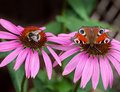 Peacock butterfly on pink flower Royalty Free Stock Photos