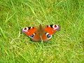 Peacock butterfly. Royalty Free Stock Photo