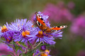 Peacock butterfly on purple flowers inachis io aster in autumn Stock Photo
