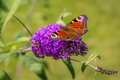 Peacock butterfly resting on a flower in the garden Stock Photography