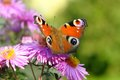 Peacock butterfly on violet flowers in green blurry back Royalty Free Stock Photos