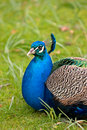 Peacock close-up Royalty Free Stock Photography