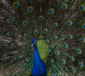 Peacock Close Up with Feathers Extended Royalty Free Stock Photo