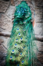 Peacock close up on tail with green feathers Stock Photo