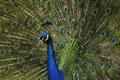 Peacock close view landscape of showing head with crest and detail of pattern of covert feathers Stock Photography