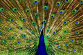 Peacock colorful capture of a male displaying all its feathers Royalty Free Stock Image