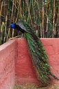 Peacock with colorful plumage long tail and iridescent bird sitting on wall Royalty Free Stock Photos