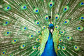 Peacock with colorful tail Royalty Free Stock Image