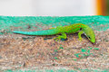 Peacock day gecko phelsuma quadriocellata in the jungel of ranomafana in madagascar Stock Image