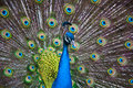Peacock Display Royalty Free Stock Photos