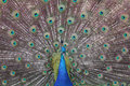 Peacock Displaying Colorful Feathers Royalty Free Stock Photo