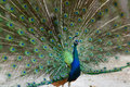 A peacock displaying his plumage beautiful Royalty Free Stock Photo