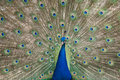 Peacock displaying plumage Stock Image