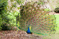 Peacock Displaying Tail Feathers Royalty Free Stock Photography