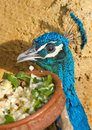 Peacock Eating Stock Photos