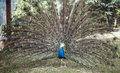 Peacock with expanded tail Royalty Free Stock Photo