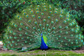 Peacock with fanned tail Royalty Free Stock Photo
