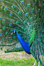 Peacock with fanned tail Royalty Free Stock Photography