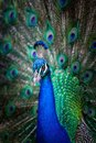 Peacock With Fanned Tail.