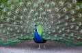 Peacock Fanning Tail Royalty Free Stock Image
