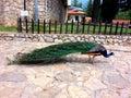 Peacock On Farm