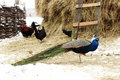Peacock in farmyard winter serbia Stock Photography
