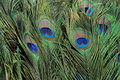 Peacock feather Stock Images