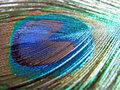 Peacock feather Royalty Free Stock Photo