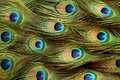 Peacock feather background. Royalty Free Stock Photo