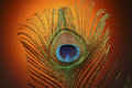 Peacock feather beautiful animal concept Stock Photography