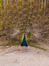 Peacock With Feather Expansion Royalty Free Stock Photo