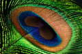 Peacock feather eye Stock Image