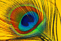 Peacock Feather Eye Royalty Free Stock Photo