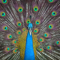 Peacock with feathers Royalty Free Stock Images