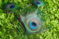 Peacock feathers on a green background Royalty Free Stock Photo