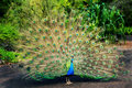 Peacock with Feathers Spread Royalty Free Stock Photography