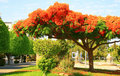 Peacock flowers on Poinciana tree Royalty Free Stock Photos