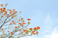 Peacock flowers on poinciana tree Royalty Free Stock Photo