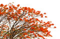 Peacock flowers on poinciana tree Stock Images