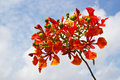Peacock flowers on poinciana tree Stock Photo