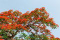 Peacock flowers on poinciana tree in nam dinh vietnam Stock Image