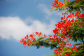 Peacock flowers red holding on air with blue sky delonix regia flwers Royalty Free Stock Photography