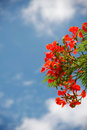 Peacock flowers red holding on air with blue sky delonix regia flwers Stock Images