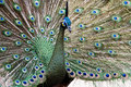 Peacock fully spreads it tails Royalty Free Stock Image
