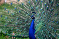 Peacock in garden Stock Photos