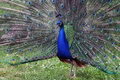 Peacock in garden Royalty Free Stock Photo